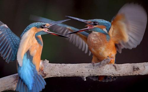 chim danh nhau
