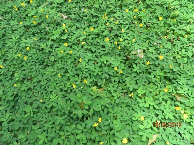 Hoa vang- co xanh 5a